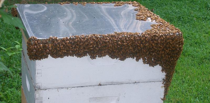 Bee cluster caps hive