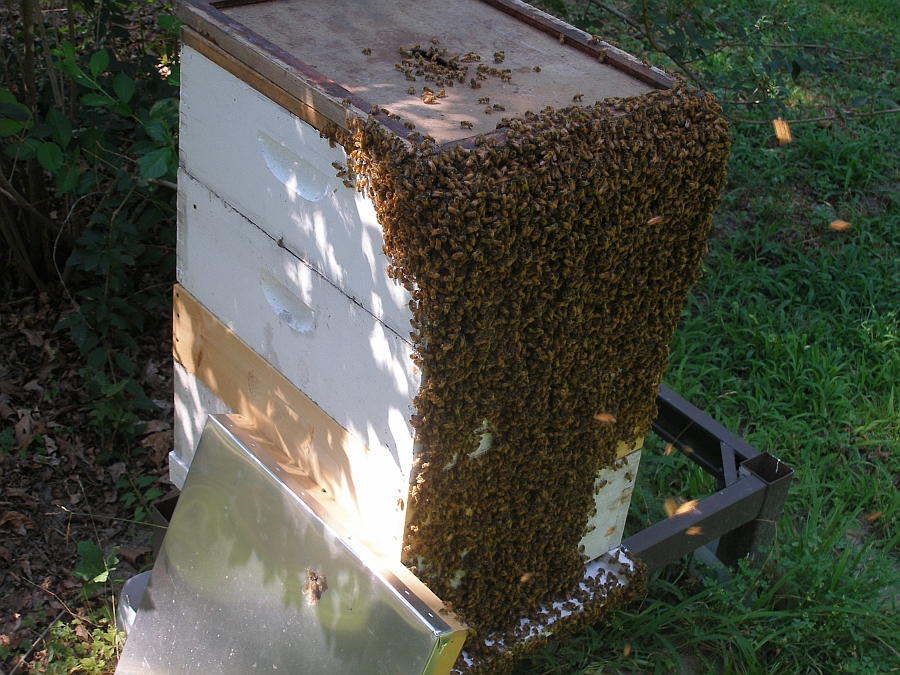After removing hive entrance restrictor
