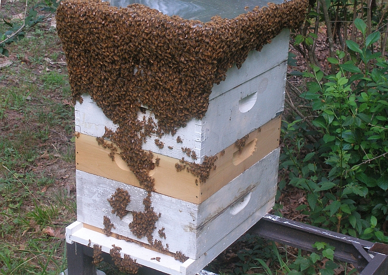 My hive is dripping with bees